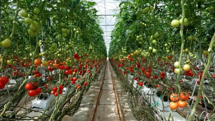 The Journey of Tomato in Solan