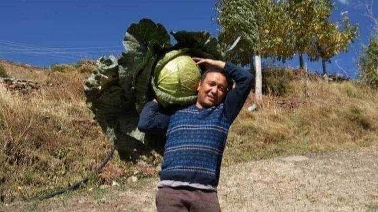 lahaul-farmer-harvested-17.2-kg-cabbage