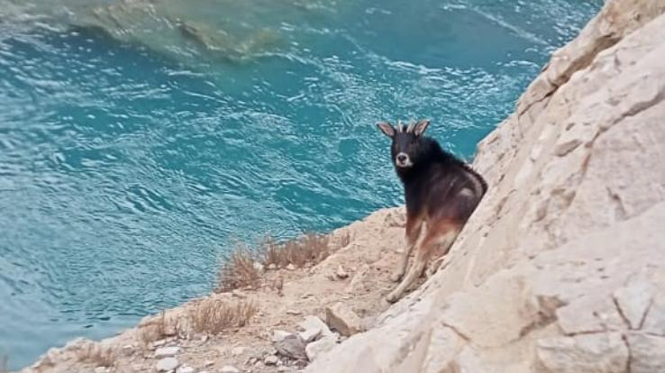 rare-himalayan-serow-spotted-in-hurling-of-lahaul-spiti