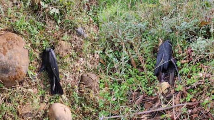 bird-flu-in-himachal-dead-crows-found-in-bilaspur