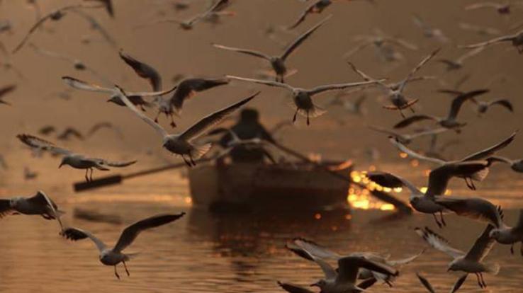 bird-flu-no-infection-found-in-pong-dam-water-himachal-kangra