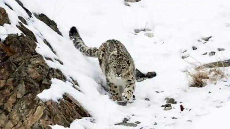 Himachal-becomes-first-state-to-count-snow-leopard