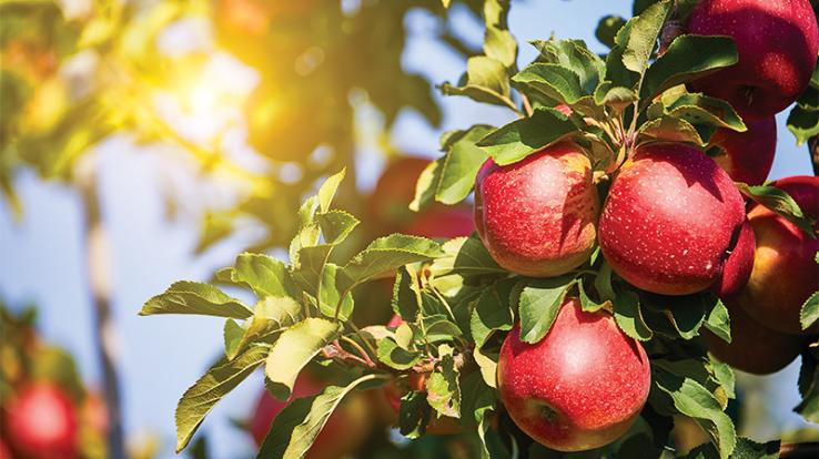 Apple orchards under the influence of canker disease