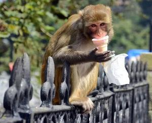 No more monkeys will be killed in Himachal, Vermin period completed may 31 2021