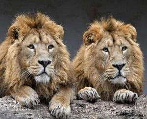 Delta variant of corona virus found in 4 lions of Tamil Nadu zoo