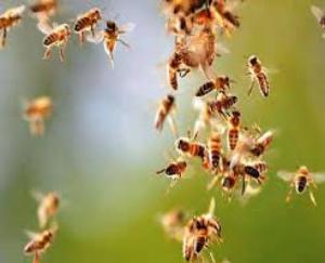 ज्वालामुखी : मझीन- खेतो में काम कर रही बुजुर्ग महिला पर मधुमखियों ने किया हमला,मौत