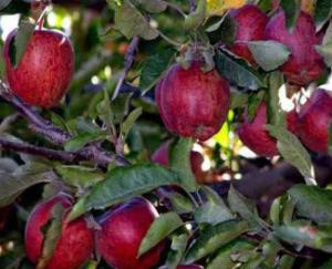 Himachal: Due to fall in the price of apples, the business of billions of the state is in trouble