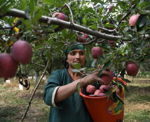 Due to the fall in the prices of apples, the state's economy may derail