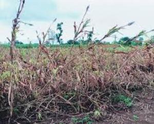 बड़सर में मूसलाधार बारिश व तूफान से फसलें लेटी, जमीन पर भारी तबाही से क्षेत्र किसान परेशान