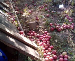 apple-crop-destroyed-in-the-storm