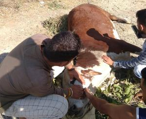 cattle-dies-due-to-collision-with-unknown-vehicle