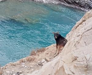 rare-himalayan-serow-spotted-in-hurling-of-lahaul-spiti
