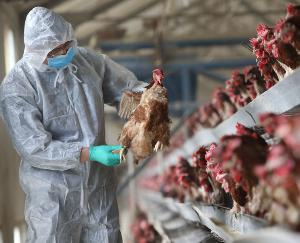 After-corona-bird-flu-enters-the-country-1-lakh-chickens-die-in-Haryana
