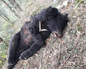 Dead body of a female bear found in Dalhousie, department engaged in investigation