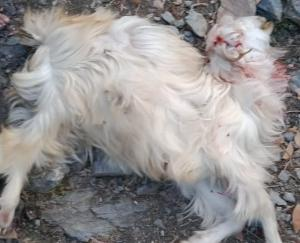 Leopard attacked goat in Gulan village, atmosphere of fear among people